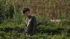 Des soldats nord-coréens ravagent des fermes