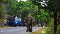 En Inde, la cohabitation forcée avec les hommes fait vivre un véritable enfer aux éléphants