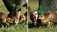 Ces bébés paons et leurs mamans vont vous faire fondre le cœur (5 photos)