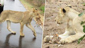 L'instinct maternel de cette lionne l'amèneà protégerun bébé antilope des prédateurs