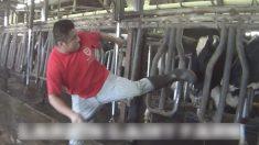 Unecaméra cachée filmelamanière dontdes ouvriersmaltraitent des vaches laitières