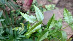 Les plantes pesticides au secours des cultures