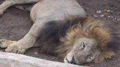 Un lion affamé et malade agonise dans un zoo du Bangladesh, une pétition demande son retrait