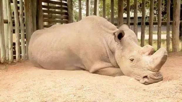 Ce dernier rhinocéros blanc exprime la tristesse d'une espèce sur le point de disparaître