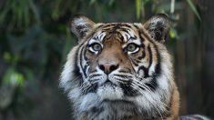 Le tigre de Sumatra en danger critique d'extinction à cause de l'huile de palme