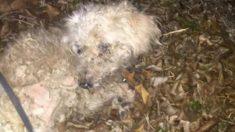Ce caniche était ligoté à une clôture et condamné à mourir. En recevant du secours, ses yeux étaient «vides»