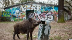 Berlin: les sangliers s'incrustent dans la capitale