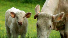 Doubs: 60 vaches sont mortes de faim car abandonnées par leur propriétaire
