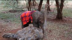 Cette autruche est devenue orpheline jusqu'à ce qu'elle rencontre un bébé éléphant abandonné