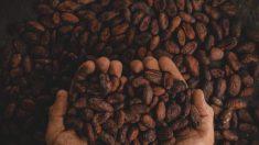 L'un des meilleurs cacaos au monde menacé par des teneurs élevées en cadmium