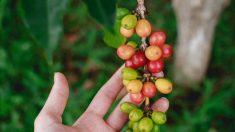 Le changement climatique va-t-il nous priver de café ?