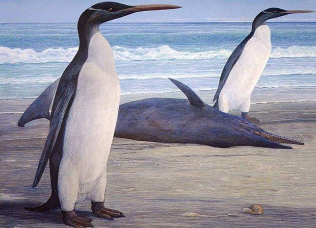 Le fossile d'un manchot géant découvert en Nouvelle-Zélande
