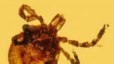 Des chercheurs retrouvent 4 tiques dans de l'ambre fossilisé – l'une d'elles pourrait contenir le sang d'un dinosaure !