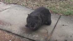 Un wombat mécontent d'être filmé pendant sa promenade dans la capitale australienne