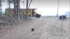 Chaque jour, ce coq court chercher une fille de 13 ans à l'arrêt d'autobus