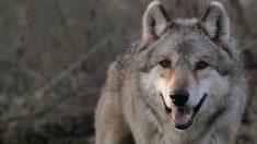 «Je suis le sauvage»: Un hommage à la fragile population des loups en France