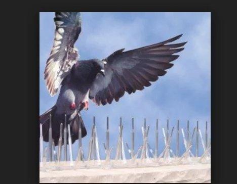 des barbel s anti pigeons sur des arbres r actions pol miques face cette pratique au royaume. Black Bedroom Furniture Sets. Home Design Ideas