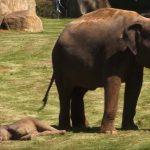 La maman éléphant, inquiète, n'arrive pas à réveiller son petit – le gardien arrive à rassurer tout le monde