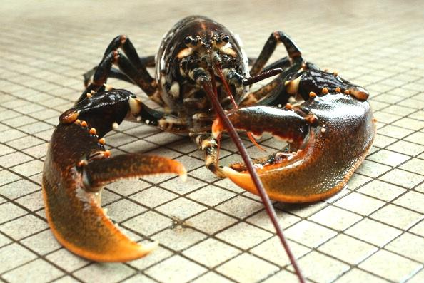 Du nouveau dans les cuisines Suisse: une loi interdit de plonger les homards dans l'eau bouillante