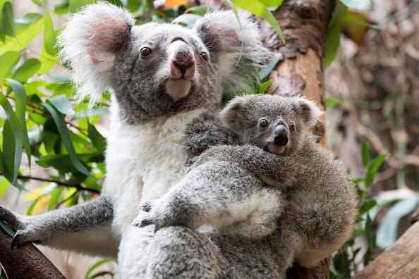 L'Australie choquée par la mort d'un koala vissé sur un poteau