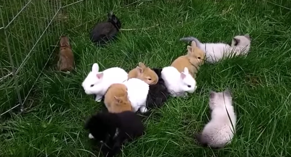 Ces chatons ont t lev s avec des lapins regardez - Comment se debarrasser des lapins sauvages ...