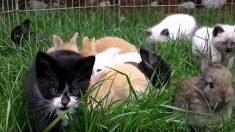 Ces chatons ont été élevés avec des lapins, regardez comment ils se comportent, c'est si joyeux !