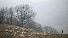 Des moutons rendent