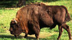 Le premier bison qui s'est aventuré en Allemagne depuis plus de 250 ans a été immédiatement abattu