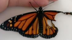 Une femme trouve un papillon handicapé. Sa solution ? Quelque chose que vous n'avez jamais vu