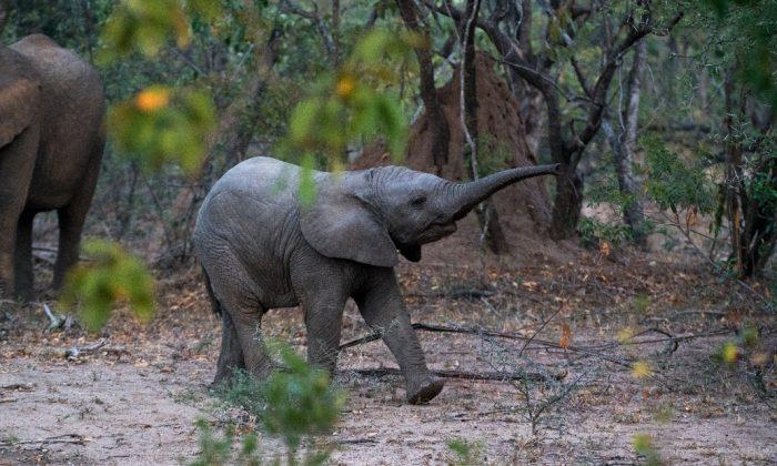 Pour le ramener à sa mère, un sauveteur porte un bébé éléphant sur son dos alors qu'était coincé dans un fossé