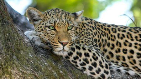 AFRIQUE DU SUD – Le léopard pourrait s'éteindre d'ici 2020