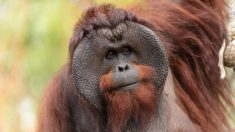INDONÉSIE - un orang-outan criblé de balles, quatre suspects arrêtés