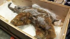 Un mammouth de 39 000 ans décongelé et exposé au Japon, le meilleur spécimen préservé connu