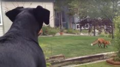 Impuissante et jalouse, cette chienne regarde par la fenêtre un renard jouer avec son jouet préféré [Vidéo]