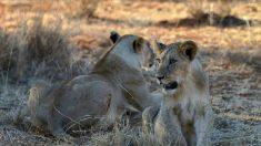 Des images terrifiantes de lions fonçant sur une voiture avec 2 enfants à l'intérieur