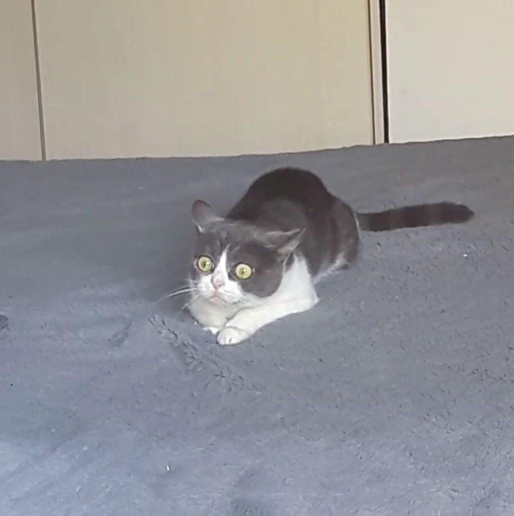 Ce chaton aux yeux carquill s sous les effets de l herbe aux chats commence voir une souris - Combien de temps un chat peut disparaitre ...