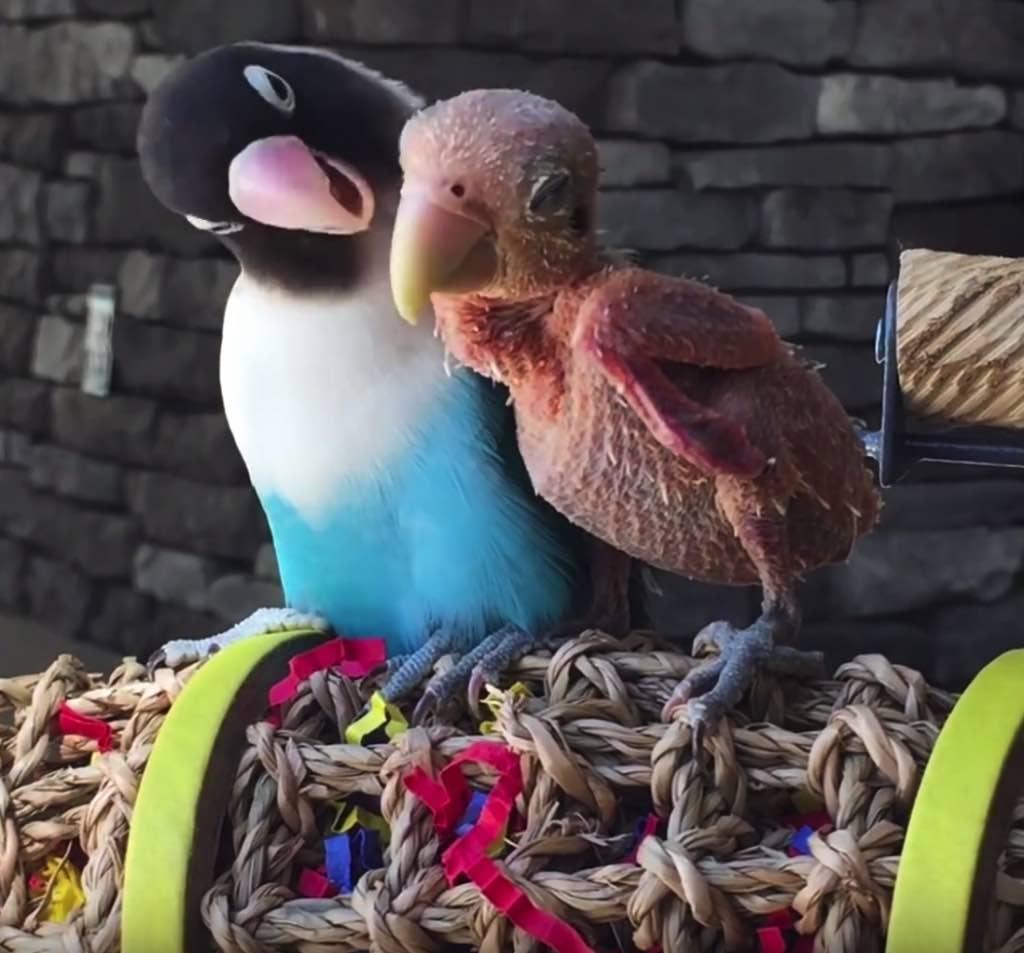 2 perroquets souffrent d une maladie mortelle mais sont for Maladie poules perte plumes