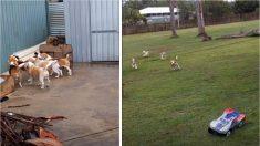 Un homme doit s'assurer de promener tous ces chiens. Drôle de méthode qu'il a trouvée - c'est ingénieux!