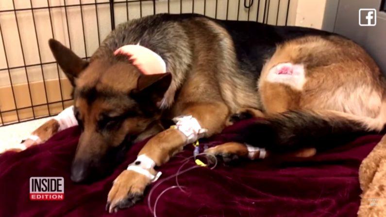 Un chien protège son jeune maître lors d'un cambriolage, se prend trois balles… et survit malgré tout