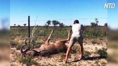 Un homme libère un koudou coincé à une clôture, mais quand il ne se relève pas, il fait quelque chose de vraiment dangereux