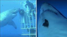 Des plongeurs marins observent le plus grand requin blanc du monde - lorsqu'ils le nourrissent, c'est époustouflant!