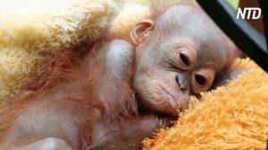 Un bébé orang-outan blessé par balle à l'épaule est laissé pour mort. Heureusement, il est sauvé juste à temps