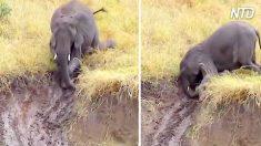 Un troupeau d'éléphants fait face à une pente glissante, mais regardez comment ils descendent - c'est trop drôle !