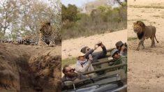 Le guide du safari aperçoit un lion qui se glisse sur un léopard endormi, les choses deviennent alors très dangereuses!
