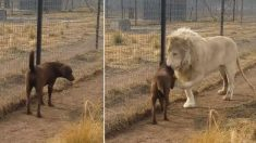 Un énorme lion s'approche d'une chienne qui trébuche dans son enclos - quand il se rapproche, c'est incroyable !