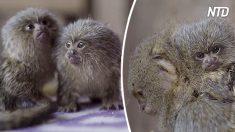 Ces minuscules singes font la taille d'une barre en chocolat - mais regardez comme les bébés sont petits !