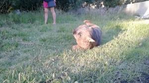 Ce wombat semble le plus heureux du monde, mais quand une femme crie, il fait quelque chose que je n'avais jamais vu