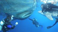Des plongeurs repèrent 4 géants pris au piège dans un filet de pêche. Quand ils s'approchent, c'est vraiment époustouflant !
