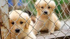 Saône : Un trafic international de chiens vendus sur internet a été démantelé