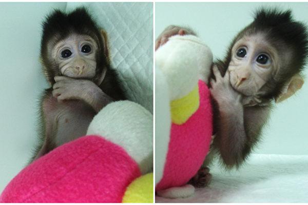 La communauté internationale condamne le clonage de singes en Chine